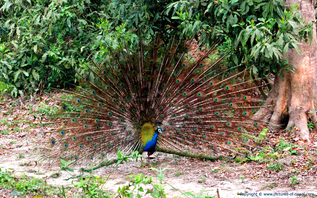 Peacock Chitwan Nepal on Nepal Location On World Map