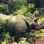 One Horned Rhino in Nepal - An Endangered Species