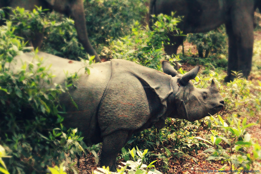 One Horned Rhino in Nepal